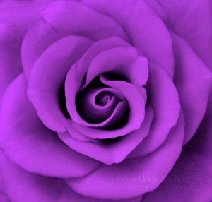 photo of a purple rose