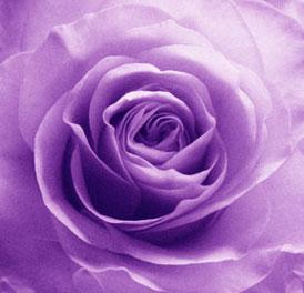 photo of a purple rose